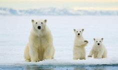 Image of polar bear mother, ursus maritimus, and twin cubs of the year hunting on the pack ice, svalbard archipelago, arctic norway by ArcticPhoto Bear Photos, Bear Pictures, Animal Pictures, Animals And Pets, Baby Animals, Funny Animals, Cute Animals, Wild Animals, Polar Bear Facts