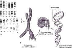 I like very much this vintage illustration of karyotype, chromosome and  DNA