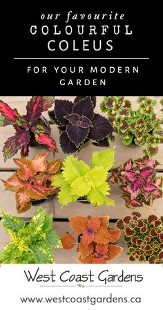 The Colours of Coleus for Your Modern Garden Garden Tips West Coast Gardens learn about this cool garden plant and our favourites Container Plants, Container Gardening, Gardening Tips, Organic Gardening, Indoor Gardening, Modern Garden Design, Contemporary Garden, Modern Patio, Landscaping Plants