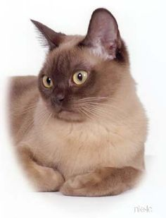 This champagne Burmese looks like a cross between Phoebe and Haley.
