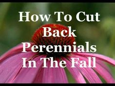 When it comes to cutting back perennials in the fall, garden author Doug Green…