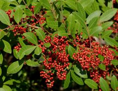 Above is a regular image of the Brazilian-pepper. Description from rufino-osorio.blogspot.com. I searched for this on bing.com/images