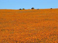 Namakwaland, Northern Cape, SA Holiday Destinations, Homeland, West Coast, Wild Flowers, South Africa, Fields, Birth, Cape, Flora