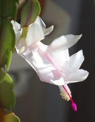 White Christmas cactus