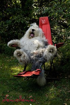 Just relax.it's too hot, today. Old English Sheepdog Animals And Pets, Baby Animals, Funny Animals, Cute Animals, Bearded Collie, Chien Goldendoodle, I Love Dogs, Cute Dogs, Tibet Terrier