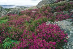 Norwegian Flowers