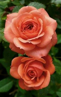No matter the beauty and delicacy of the rose, there is always a prickly side.xo, A bed of roses Beautiful Flowers Wallpapers, Beautiful Rose Flowers, Pretty Roses, Exotic Flowers, Amazing Flowers, Pretty Flowers, Orchid Flowers, Ranunculus Flowers, Cactus Flower