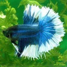 Resultado de imagem para peixes ornamentais de agua doce