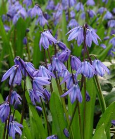 """Scilla siberica Spring Beauty - vivid-blue naturalizer bears up to six, sky-blue flowers on strong stems. Bulb size: 8 cm/up. April. 5"""". HZ: 3-8."""