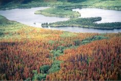 Pine trees near Grandby, Colo., show the signature rust color of the 'red stage' of a pine beetle attack. Pine Beetle, State Forest, Science Photos, Forest Service, Water Me, Rust Color, Rocky Mountains, British Columbia, Natural Beauty