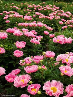 Lupine Flowers, Paradise Garden, Peonies Garden, Colorful Garden, Home And Garden, Garden Tips, Flower Art, Garden Landscaping, Flower Power