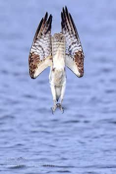 Diving by my802d #animals #animal #pet #pets #animales #animallovers #photooftheday #amazing #picoftheday