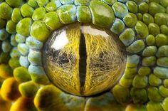 Imagem: Píton-verde-de-árvore (© Joel Sartore/National Geographic/Caters)