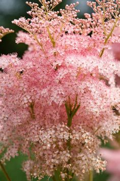 Tall and spectacular, award-winning Queen of the Prairie 'Venusta' (Filipendula Rubra) is a splendid herbaceous perennial with large, elegant sprays of small deep pink flowers borne on leafy stems well above the foliage from early to mid summer
