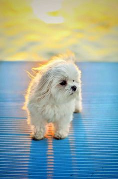 Cute maltese dog ! love jenny xoxo: Photography