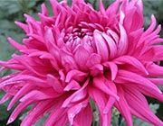 Záhradníctvo ČAKO | Predaj chryzantém, chryzantémy, František Čaputa