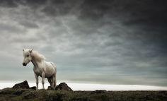 The Icelandic Horse by Gunnar Gestur Geirmundsson, via 500px