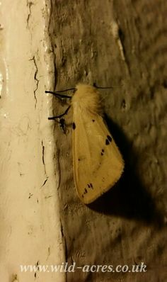 A Buff Ermine moth at Wild Acres, www.wild-acres.co.uk