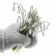 A fistful of snowdrops in a mitten donned hand. White Tulips, Pink Tulips, Corporate Flowers, Winter Love, Winter Colors, Winter Photos, Dark Blue Background, Spring Blooms, All Flowers