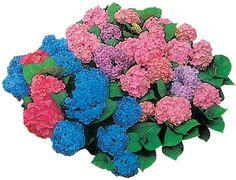 ortensie colorate