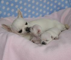 Chihuahua mother and pups