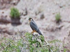 Halcón (Falco femoralis pichinchae)