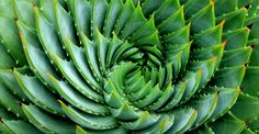 Cactus Aloe polyphylla. ©© Just Chaos - CC BY-NC 2.0