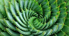Cactus Aloe polyphyl