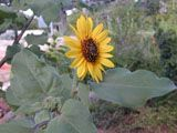 Special Collections: California Pollinator Plant List | NPIN