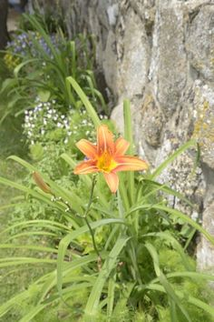 Hemerocalis (Daylily) likes regular water but will tolerate drought conditions (bloom size and quantity diminishes but it is a resilient plant)