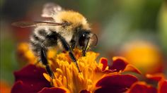 Bees play an important role in maintaining biological balance in our environment and recycling soil nutrients. Carpenter Bee, I Love Bees, Bees And Wasps, Mother Earth News, Our Environment, Save The Bees, Wild Ones, Bee Keeping, Marketing