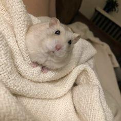 Pinterest photo - #hamsters #hamster
