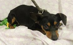 A552847 is an adoptable dachshund searching for a forever family near Modesto, CA. Use Petfinder to find adoptable pets in your area. Mini Dachshund, Dachshund Puppies, Dachshund Adoption, Searching, Pets, Animals, Animales, Search, Animaux