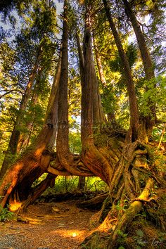 """""""Cape Scott Tree"""" - photo by Tristan Rayner. Tree near San Joseph's Bay in Cape Scott National Park, Mt. Waddington on Vancouver Island, British Columbia, Canada All Nature, Nature Tree, Amazing Nature, Weird Trees, Beautiful Places, Beautiful Pictures, Unique Trees, Old Trees, Tree Forest"""