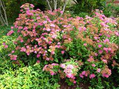 Spirée du Japon, Spiraea japonica