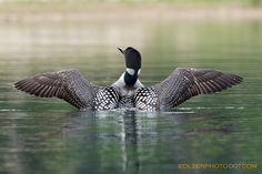 The Common Loon giving a nice morning stretch. Life is great on the inland lakes that dot Michigan.