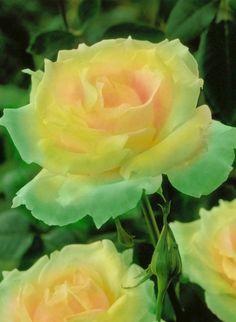 Emerald Mist Rose