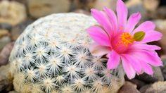 Mammillaria herrerae (Image: Jardín Botánico Regional de Cadereyta) Cacti And Succulents, Planting Succulents, Cactus Plants, Math Concepts, Nature Plants, Plantar, Grow Your Own, Cactus Flower, Save The Planet