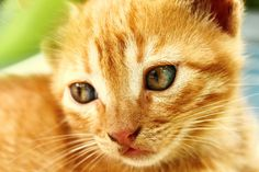 Orange tabby #cat