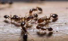 Have ants taken up residence in your home? The kitchen can be a challenging place to get rid of ants since there are so many sources of food. This is a guide about getting rid of ants in your kitchen. Common Household Bugs, Household Tips, Planter Menthe, Fire Ant Bites, Ant Problem, Get Rid Of Ants, Fire Ants, Termite Control, Dawn Dish Soap