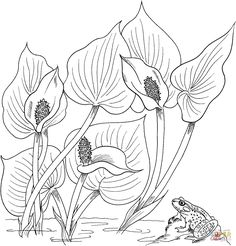 Wild Calla or Water Arum |  Coloring page #flower