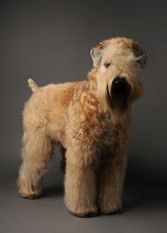 Soft-Coated-Wheaton-Terrier