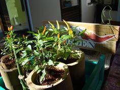 pimentas na gaveta e bambu + passarinho de arame + placa de identificação com madeira de pallets