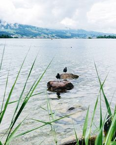 Private islads  . #zurich #zürich #zurichsee #lake #river #swan #reflection #panorama #bird #paradise #switzerland #switzerland_vacations #landscape #europe #vsco #vscoeurope #loves_switzerland #visitswitzerland #island #ig_switzerland #ig_europe #water #sky #perspective #love #city #relax #holidays #holiday #zürichsee Hula Hoop, Land Scape, Vsco, About Me Blog, Relax, Island, Bird, Instagram Posts, Animals