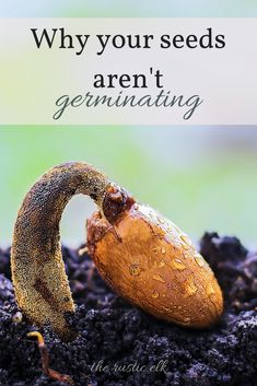 Are you having problems getting anything green to pop up out of the soil? You're not alone. Here are 10 reasons your seeds may not be growing so you can troubleshoot, and try again for a successful garden this year. #gardening