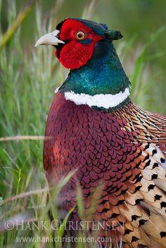 Ring-necked Pheasant; photo by Hank Christensen