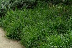 Carex muskingumensis | Knoll Gardens | Ornamental Grasses and Flowering Perennials