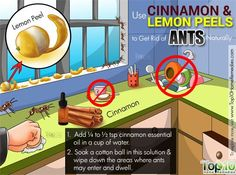How to Get Rid of Ants Fast Naturally Ant Killer Recipe, Homemade Ant Killer, Diy Pest Control, Bug Control, Ant Spray, Get Rid Of Ants, Rid Ants, Top 10 Home Remedies, Natural Remedies