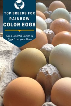 Chicken Egg Colors: Which Breeds Lay Colored Eggs? Types Of Chickens, Raising Backyard Chickens, Backyard Poultry, Keeping Chickens, Chicken Feed, Chicken Eggs, Chicken Coops, White Leghorn Chicken, Chicken Breeds For Eggs