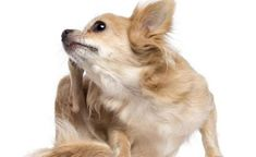 The Chihuahua is known as the world's smallest breed, but there's a lot more to these tiny dogs. Learn all about them with Chihuahua facts, pictures & more. Best Dog Food, Best Dogs, Cocker Spaniel, Collie, Home Remedies For Fleas, Itching Remedies, Pug, Itchy Dog, Pet Allergies